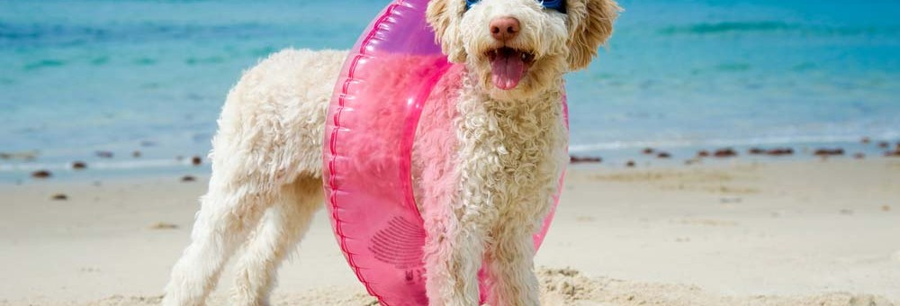 Dog wearing a swim suit at the beach